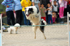 Dog jumping Stock Photography