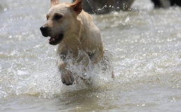 Dog jumping. The dog is jumping in the water Royalty Free Stock Photography