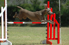 Dog jumping. A beautiful Weimaraner dog jumping a hurdle in agility sports training in the park Stock Image
