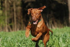 Dog jumping. Livernosed rhodesian ridgeback jumping and playing in the field Stock Photo