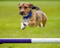 Dog Jumping. A small little active dog jumping a hurdle having private agility training for an agility sport competition royalty free stock images