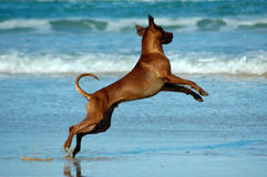 Dog jumping Stock Image