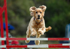 Free Dog Jumping Stock Images - 3857474