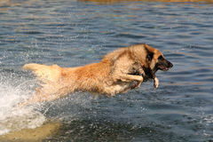 Dog jumping. Tervueren (belgian shepherd) jumping into the water stock images