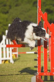 Dog Jumping Ability stock photography