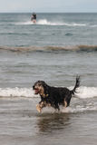 Dog jumping across ocean waves Royalty Free Stock Photos