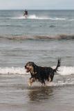 Dog jumping across ocean waves. Wet dog jumping across ocean waves Royalty Free Stock Photos