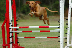 Dog jumping in agility. An active Rhodesian Ridgeback dog jumping a hurdle having agility training stock image