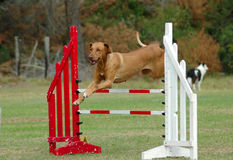 Dog jumping in agility. An active Rhodesian Ridgeback dog jumping a hurdle having agility training stock photos