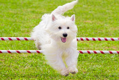 Dog Jumping in Agility Competition. A West Highland White Terrier is jumping over obstacle in agility competition royalty free stock image