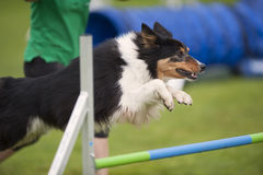 Dog jumping on agility competition Stock Photography