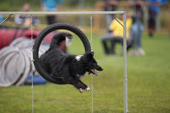 Dog Jumping Through Agility Hoop. Happy and cute Australian Shepherd doing agility tricks stock photo