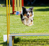 Dog jumping at agility trial. Tri-color Border Collie jumping over Broad Jump obstacle at agility trial Royalty Free Stock Photos