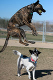 Dog jumping in the air catching ball Royalty Free Stock Images