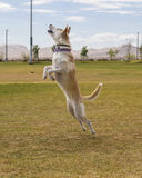 Dog jumping in the air at the park Royalty Free Stock Image