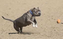 Dog jumping through the air for a toy royalty free stock photo