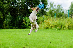 Dog jumping ant catching ball. Jack Russell Terrier on a green lawn Stock Photo