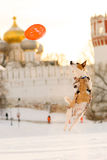 Dog jumping on background of orthodox temple. The Novodevichy Convent, Moscow, Russia Royalty Free Stock Image