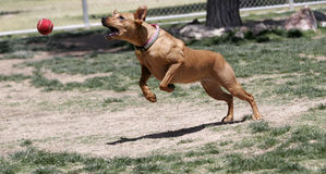 Dog jumping for ball at the park. Dog lunging and jumping for the ball at the park royalty free stock photo