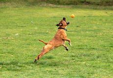 Dog jumping for a ball Royalty Free Stock Photo