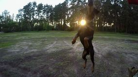 Dog jumping for ball at sunset stock video