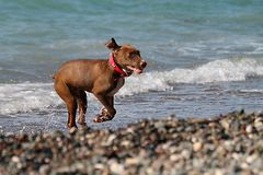 Dog jumping on the beach royalty free stock photo