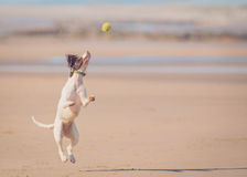 Dog jumping catching ball Royalty Free Stock Images