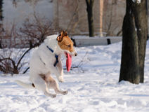 Dog jumping and catching red flying disk at winter park Stock Images