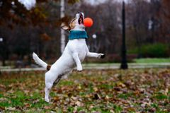 Dog jumping and catching toy ball at winter park. Jack Russell Terrier wearing knitted scarf playing at cold day stock photos