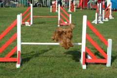 Dog jumping in competition show royalty free stock image