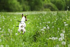 Dog jumping in dandelions, go for adventure stock photos