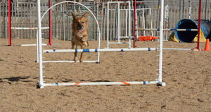 Dog jumping on dog agility course Stock Photography