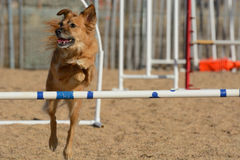 Dog jumping on dog agility course Royalty Free Stock Photos