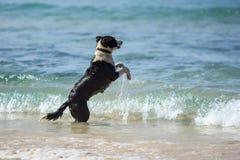 Dog jumping Stock Image