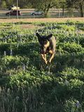 Dog jumping through a field of blue bonnets. stock images