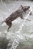 Dog jumping in the fontain Stock Image