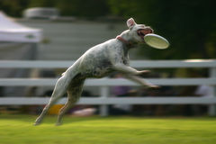 Dog jumping for frisbee. An action view of a dog jumping to catch a flying frisbee in its mouth Royalty Free Stock Photography