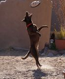 Dog jumping for a frisbee Stock Photo