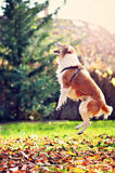 Dog. A dog jumping happy in the garden Royalty Free Stock Images