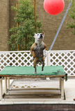 Dog jumping high for a big ball Stock Images
