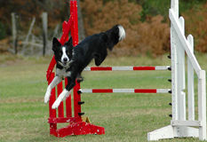Dog jumping hurdle. Active Border Collie dog jumping a hurdle having private agility training for a sports competition Royalty Free Stock Photography