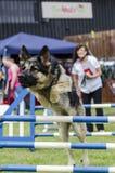 Dog jumping hurdle Royalty Free Stock Photo