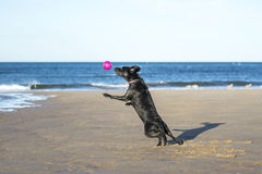Dog jumping in mid air to catch a ball. Black Labrador dog jumping in mid air to catch a ball at the beach Stock Photography