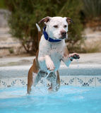 Dog jumping off the stairs into the pool Stock Images