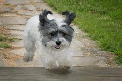 Dog jumping onto porch Royalty Free Stock Photo