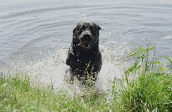 Dog jumping out of the water. Black labrador retriever jumping out of the water Royalty Free Stock Photography