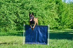 The dog is jumping over the bar jump. The dog is participating in agility competition stock images