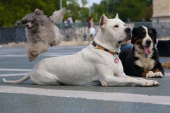 Dog jumping over dogs Stock Image
