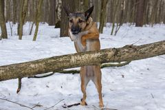 Dog jumping over fallen tree stock images