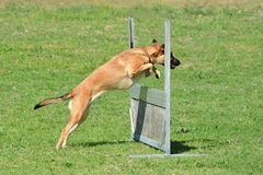 Dog jumping over fence. A mixed breed agility dog jumping over a hurdle in a dog park outdoors stock images